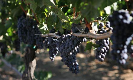 Pinot Noir: a mais branca das uvas tintas