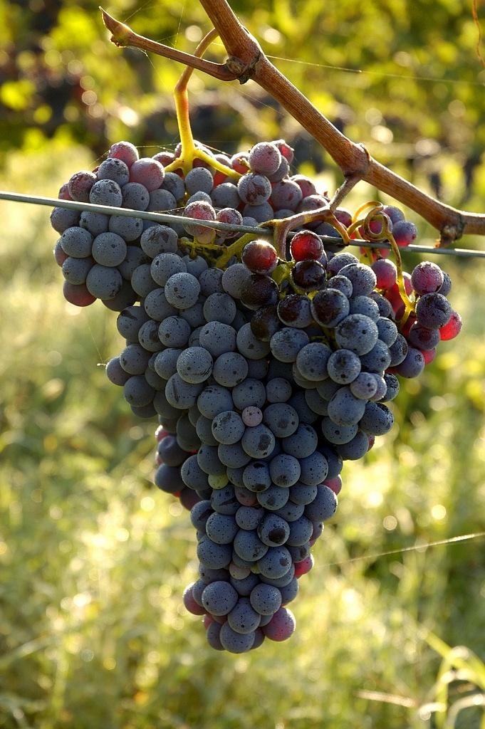 Uva Sangiovese - Toscana