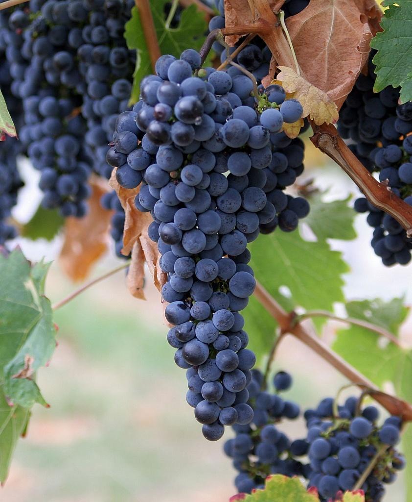 Uvas viníferas, Chile