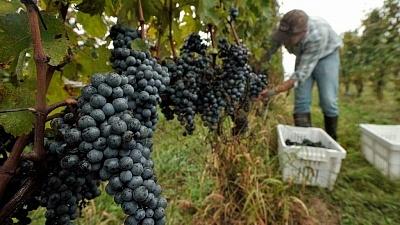 Vindima - Viva o Vinho