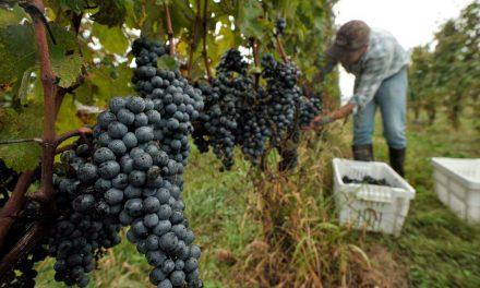 Casa Valduga ensina hóspede a colher uvas e elaborar vinho durante vindima