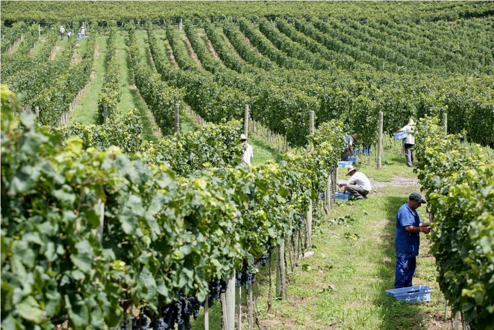 Vindima 2017 no Vale dos Vinhedos - Viva o Vinho