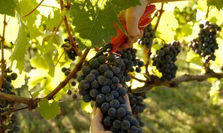 Vindima no Vale dos Vinhedos: trabalho, dedicação e alegria na colheita da uva