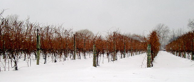 Cabernet Franc Ice Wine, Viva o Vinho