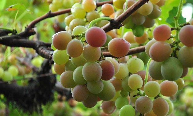 Colheita da uva promete aquecer o enoturismo em Santa Catarina
