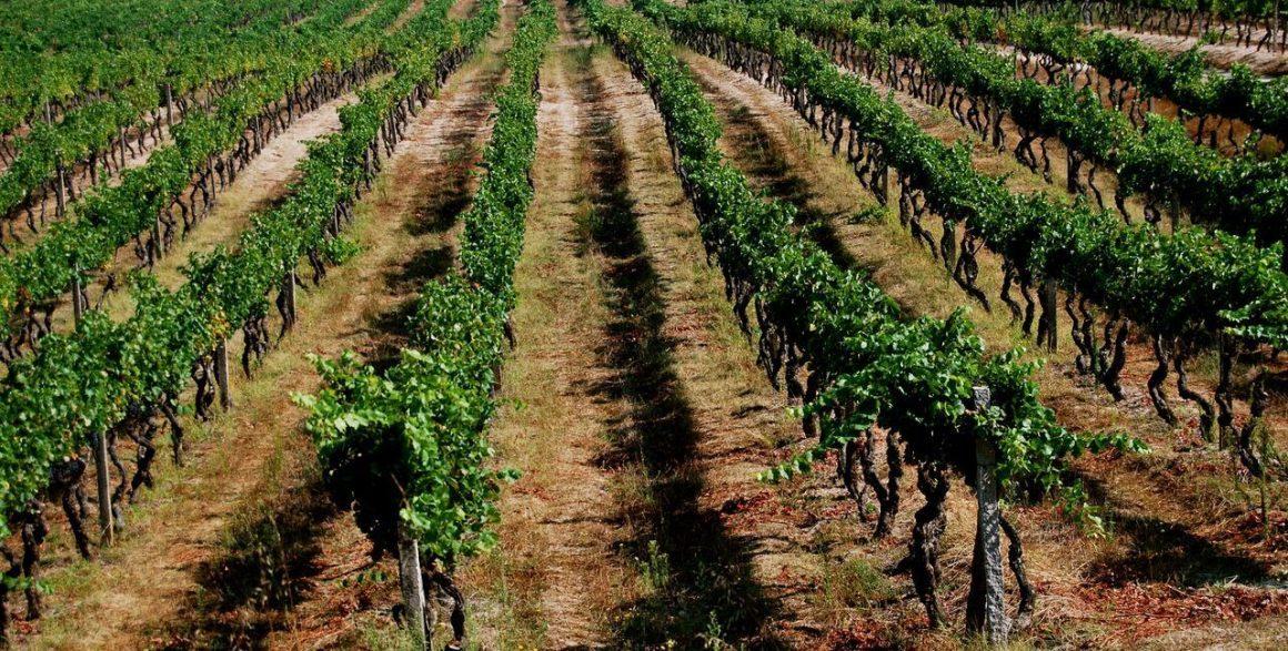 Casta Touriga Nacional | Viva o Vinho