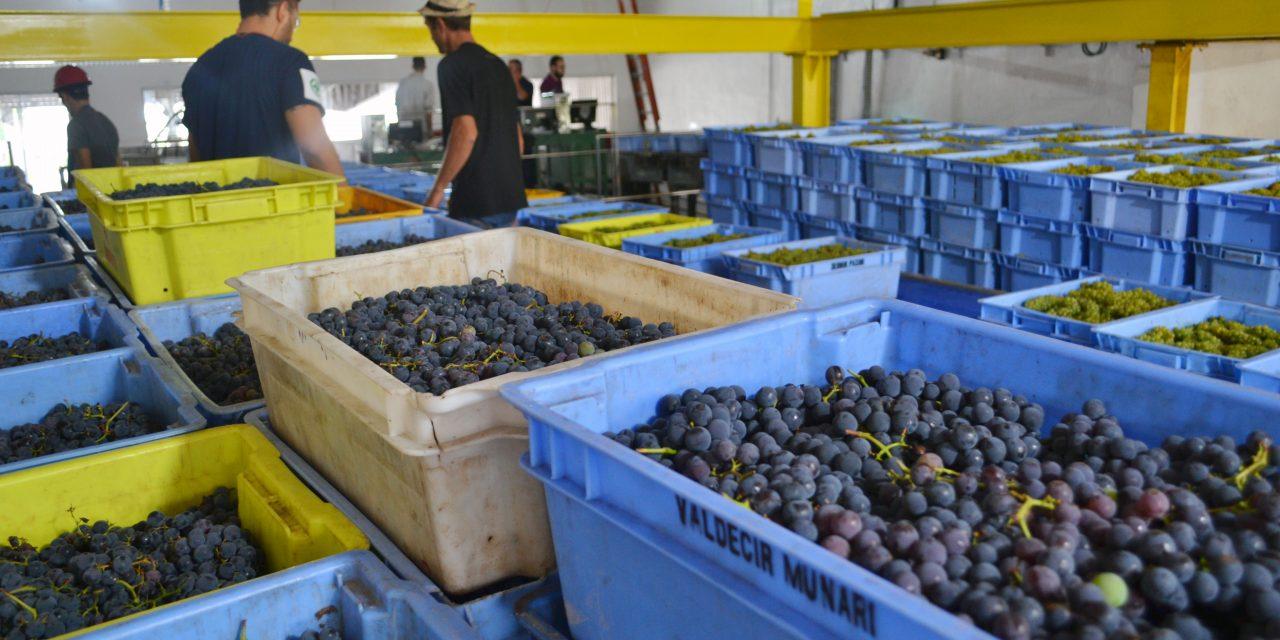 Cooperativa Vinícola Garibaldi deve receber 25 milhões de quilos de uva na safra 2019/2020